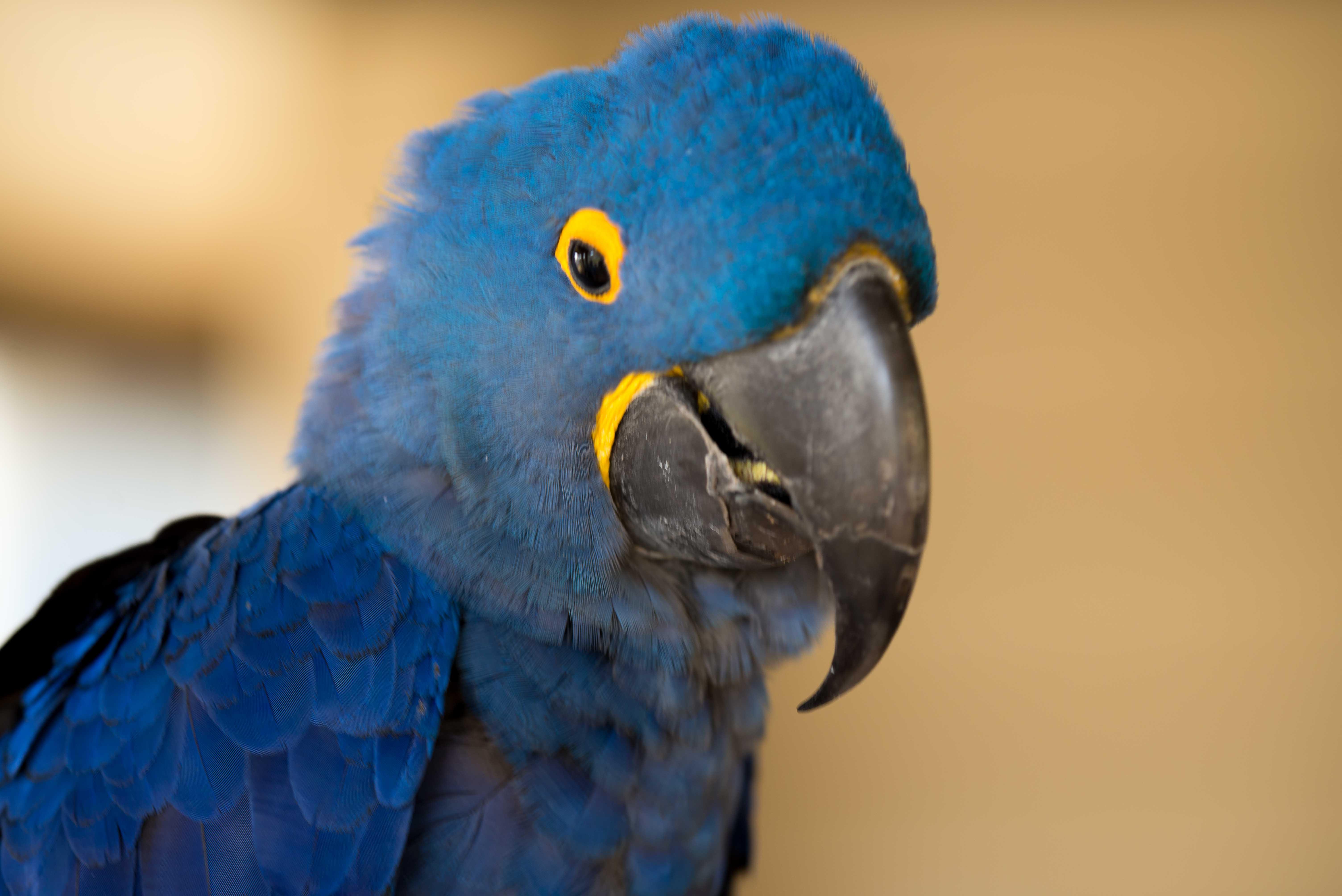 honolulu parrot