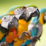 Hawaii Macaws