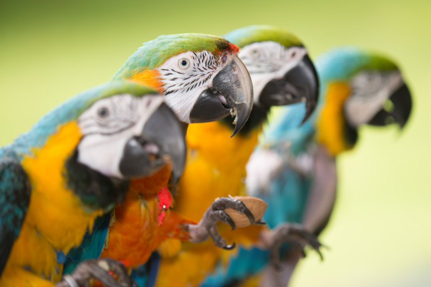 Hawaii Macaws